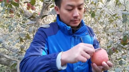 阿克苏冰糖心苹果天然果蜡鉴别