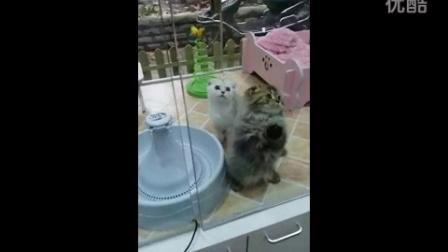 上海高地猫 折耳猫