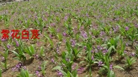 中草药图片大全白芨,白芨组培苗图片,白芨种植技术图片,白芨种植图片,白芨
