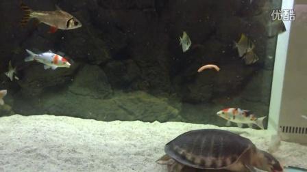 (20150118)超大猪鼻龟 抓西红柿