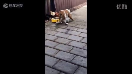 斗牛犬和鸭子玩起摔跤比赛