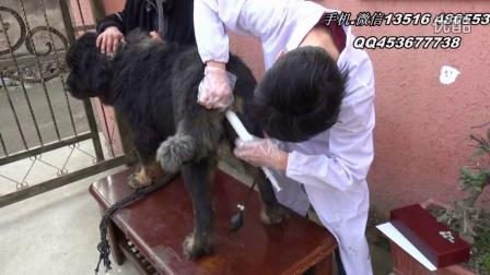 狗人工受精技术,仿自然交配受精