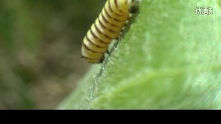 毛毛虫变蝴蝶成长过程