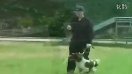 柴犬奇迹马犬训练马犬训练视频