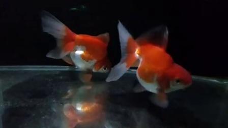 宽尾鎏金金鱼