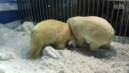 北极熊抢雪球
