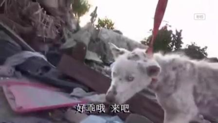 【感恩】一只可怜的哈士奇在垃圾堆里被发现,认养……一条生命从此不同一只懂感恩的狗