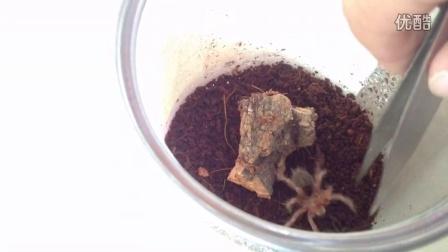 【原创】蜘蛛视频————智利火玫瑰亮牙威胁隙蛛
