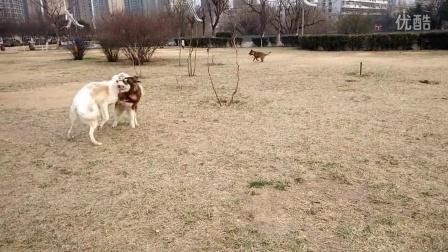 苏俄猎狼犬VID20160223170906