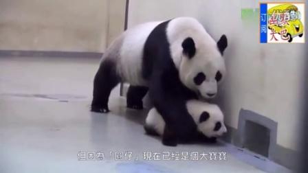 搞笑视频,熊猫妈妈怕熊猫宝宝走丢,硬给拖回家了