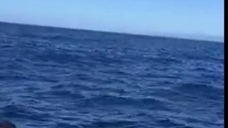 实拍凯库拉抹香鲸跃出水面!