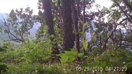 近日,工作人员通过整理位于绥阳林业局老爷岭国家级东北虎自然保护区内红外监控相机时 人民网