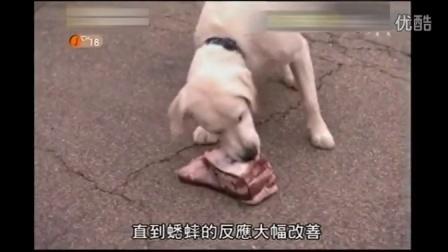 狗语者:护食英国白色猎犬、爱上影子英斗