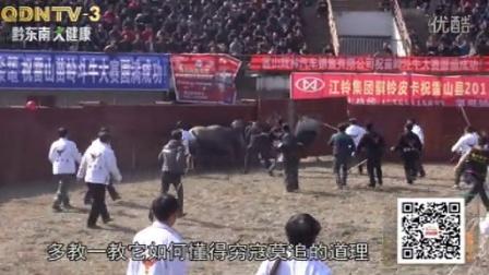 牛在江湖第92期:龙井春节斗牛专题《藏龙卧虎》