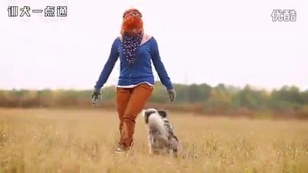 德国牧羊犬和苏格兰牧羊犬杂交会是什么样子
