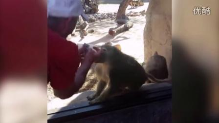 狒狒被游客变的纸牌小魔术震惊到了,表情好浮夸!