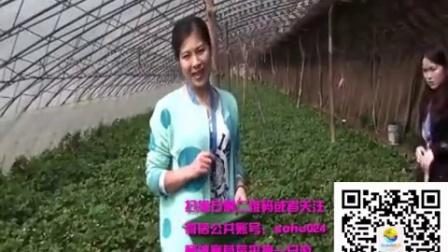 【实拍】杨城寨草莓采摘一日游 完美体验