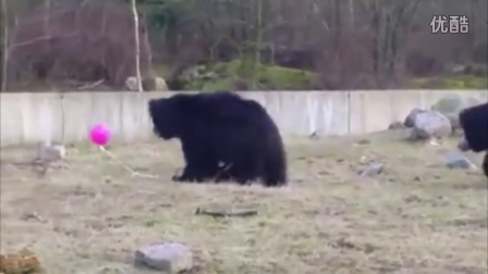 荷兰动物园三只小熊玩气球呆萌惹人爱