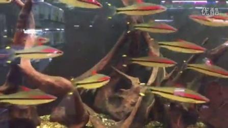 极品野生一眉道人鱼 鱼艺坊水族观赏鱼专卖淘宝网