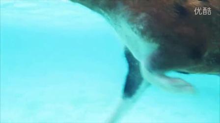 猪岛 会游泳的猪 - 乐享巴哈马 | Bahamas Joy