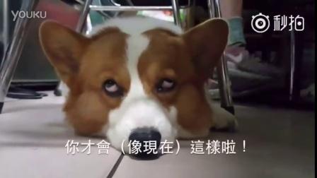 台湾网友家的一对柯基父子,儿子大大唯一会的技能就是咬爸爸,而老爹酒酒也有一招神奇 每日一狗