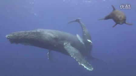 超清水下近距离拍摄座头鲸母子