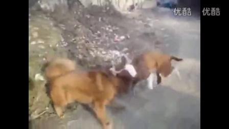 !藏獒打架视频 斗狗比特猛犬撕裂视频