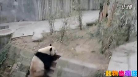 熊猫把小伙伴推下台阶之后,迅速逃跑爬树