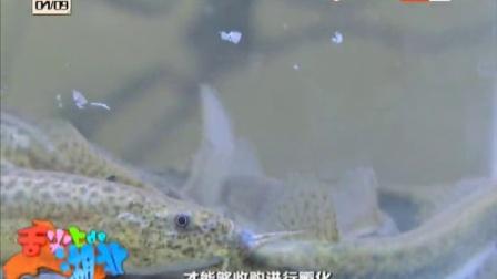 国内最好吃的泥鳅介绍与烹饪