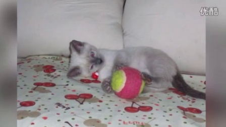爱上户外的暹罗猫(耍酷、耍帅、卖萌各种)