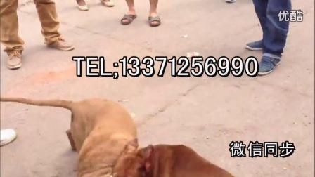 枝江比特犬幼犬多少钱一只,比特犬小狗哪里有出售的  枝江新闻资讯!!!
