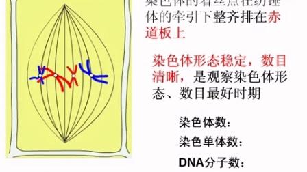 细胞增殖(二)有丝分裂的过程