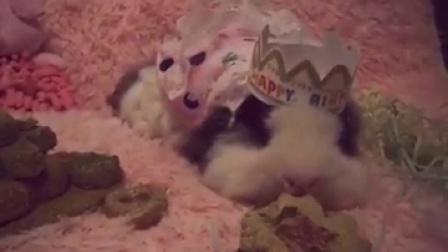 #宠物##荷兰猪#穿个花裙裙都走不动了…趴...|泡芙大脸萌