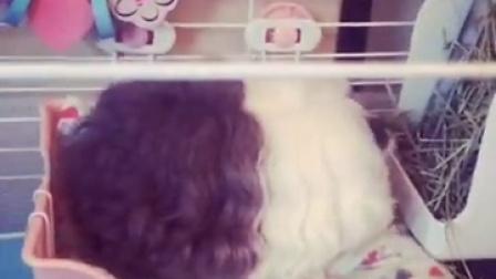 #萌宠乐园##荷兰猪#泡芙老嫌弃我的牙膏了|泡芙大脸萌
