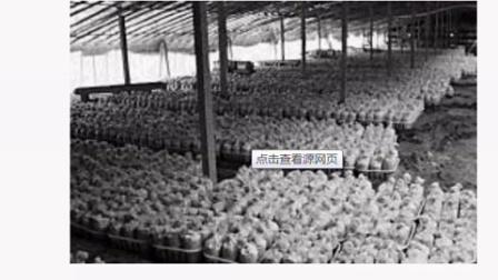 菇菌技术教程秀珍菇发菌管理