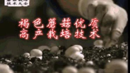 菇菌最好技术高大环柄菇播种