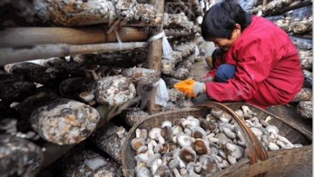 菇菌栽培技术关于食用菌原种接种的栽培技术