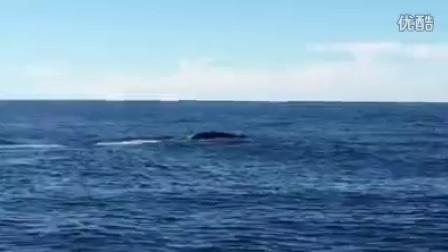 凯库拉抹香鲸甩尾