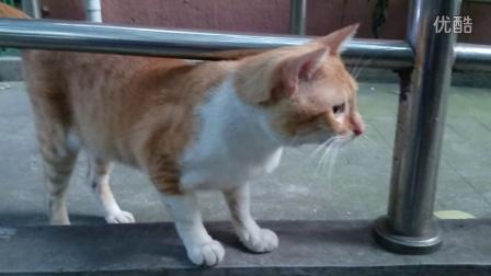 20150731-23号黄白猫