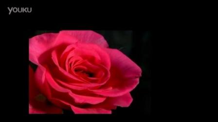 玫瑰花开绽放过程 实拍高清视频素材_标清