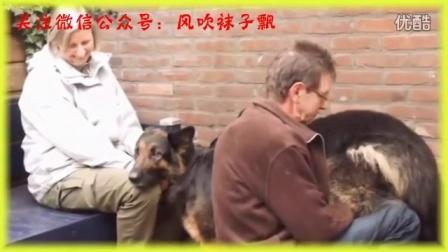 春天到了,女主人要帮狗狗交配了