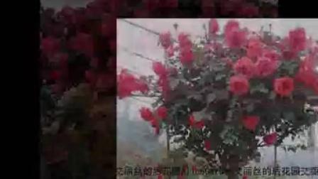 盆栽植物花树状月季 双色树状月季 当年开花 花香浓 大花树状