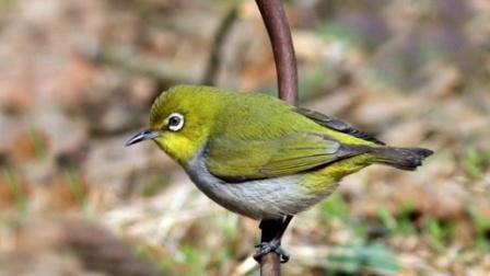 暗绿绣眼鸟叫声 白眼圈叫声(极品)视频欣赏