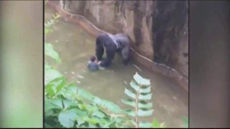 男童爬栏杆掉进猩猩园遭拖行 反被网友炮轰
