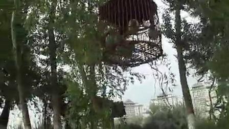 青海西宁城北区北园村,麻料鸟叫声,五字清晰,鸟好不好大家来评_标清