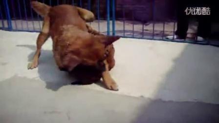 【搏击视频】王黎明发狗打架视频二憨和金毛。。。。。。