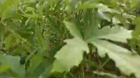 黄秋葵、咖啡黄葵、蔬菜王,有极高的经济用途和食用等价值