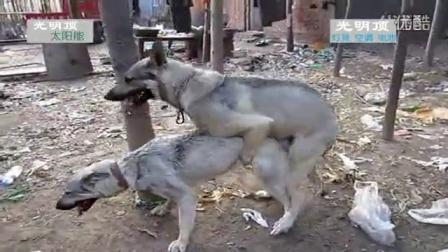 狼犬繁育狼狗配种