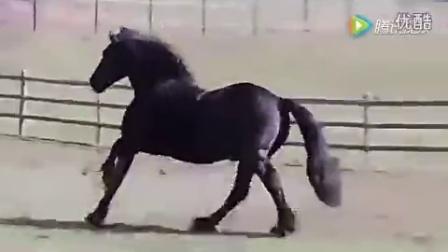 """美国一匹公马成为""""世界最帅的马"""" 配种一次3.5万"""