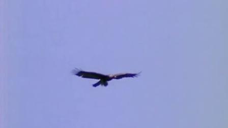 雄鹰展翅翱翔盘旋视频素材